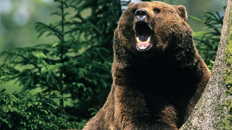 A brown bear is apparently on the loose in Siberia armed with two guns. Photo: AP