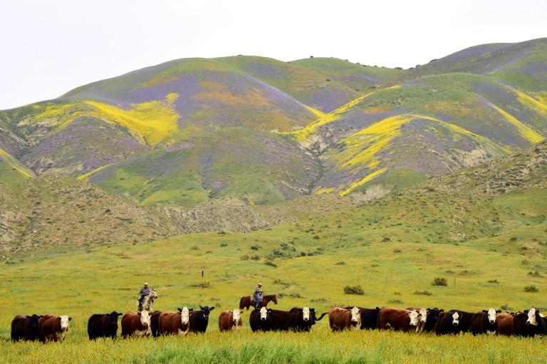 Ranch hands drive cattle to a new pasture against the backdrop of hills covered in  wildflowers in April 2017 in Taft, California; the farming industry is bolstering outreach efforts amid a surge in suicides across the US
