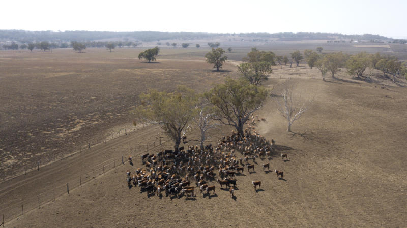 Aerial vision of cattle on drought stricken Byron Station 13km north of Inverell in northern NSW.