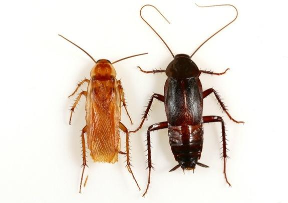 On the left is a male Turkestan cockroach, which is lighter in color than the male oriental cockroach on the right. The former also have complete wings, whereas oriental roaches only have partial wings that don't allow them to fly.