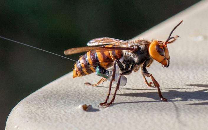Asian Giant Hornet wearing a tracking device - Karla Salp/Washington State Dept Of Agriculture