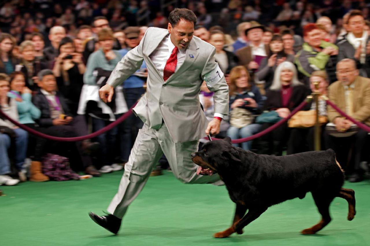 Perry Payson, of Bixby, Okla., handles Pilot, 3, a Rottweiler during at the 136th annual Westminster Kennel Club dog show, Tuesday, Feb. 14, 2012, in New York. Pilot won best of breed. (AP Photo/Craig Ruttle)