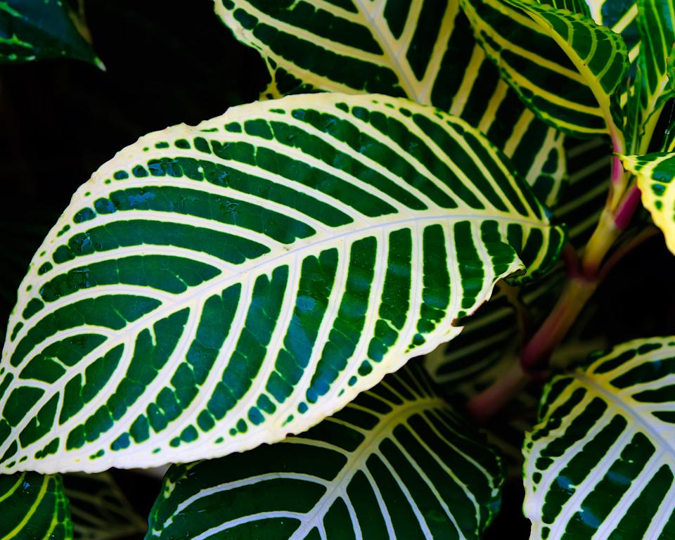 Hardest houseplants to keep alive zebra plant