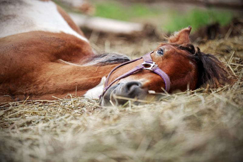 Horse resting in the hay on the farm (Photo: andreipugach via Getty Images)
