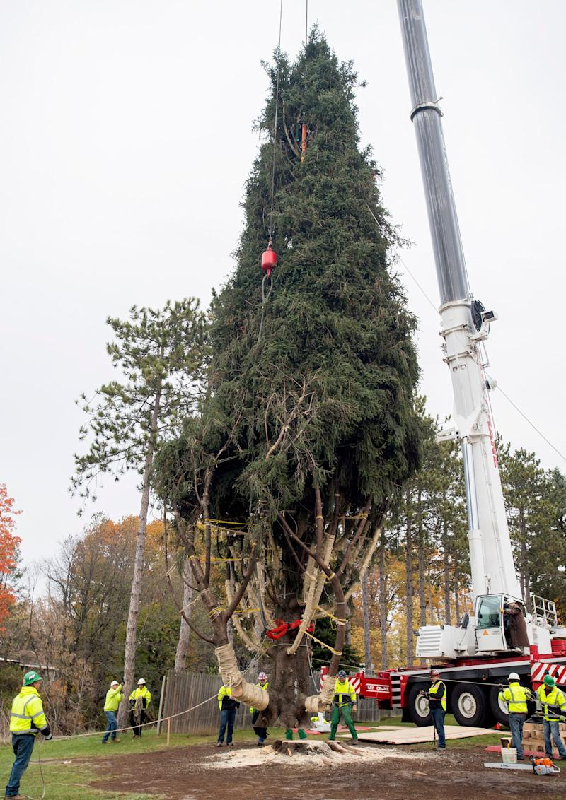 The Norway spruce from Pikeview Road is carefully lifted by a crane after being cut.