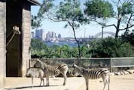 """<p><strong>Let's start big picture. What's the vibe here?</strong><br> Taronga Zoo occupies some of the city's best real estate, ideal for snapping giraffes backdropped by the <a href=""""https://www.cntraveler.com/activities/sydney/sydney-opera-house?mbid=synd_yahoo_rss"""" rel=""""nofollow noopener"""" target=""""_blank"""" data-ylk=""""slk:Sydney Opera House"""" class=""""link rapid-noclick-resp"""">Sydney Opera House</a> and sparkling harbor. Getting there is half the fun: take the scenic 12-minute ferry ride from Circular Quay, then soar by Sky Safari cable car (free with zoo tickets) up to the main entrance. Tickets must be pre-booked online. Alternatively, a bus service whisks guests from the ferry to the entry. Once inside you'll have a wild time, meeting over 4,000 animals from Australia and around the world.</p> <p><strong>Any standout features or must-sees?</strong><br> You'll find amazing animals from gorillas to zebras at Taronga Zoo, but don't miss the Australian indigenous species. Highlights include kangaroos, koalas, echidnas, emus, wombats, hard-to-spot platypuses, Tasmanian devils, and quokkas. The reptile and nocturnal marsupial houses will delight kids, as will enclosures such as the kangaroo and wallaby zone, where you can walk among the friendly residents. Aquatic creatures, including penguins, seals and crocodiles, await at the bottom of the sloping hill. The Indonesian-themed Tiger Trek experience promises feline thrills.</p> <p><strong>Was it easy to get around?</strong><br> Download the free Taronga Zoo app or map, or pick up a map at the entry at Taronga's Top Plaza, where you'll also find a soft toy-packed shop (there's another smaller gift shop beside the exit). It marks the different animals' locations, dividing them into colored routes including African Savannah, Rainforest Trail, and Kids Trail. Maps also list timings for the many daily activities, from the Seal Show and QBE Free-flight Bird Show to the Koala Encounter, and Meerkat Keeper Talk. Casual restaurants"""