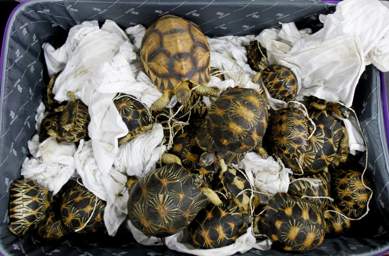 Seized tortoises are displayed during a press conference at Customs office in Sepang, Malaysia, Malaysia on Monday, May 15, 2017. Malaysian authorities say they have seized 330 exotic tortoises from Madagascar worth 1.2 million ringgit ($276,721) in the latest heist of illegal wildlife and animal parts being smuggled into the country. (AP Photo/Daniel Chan)