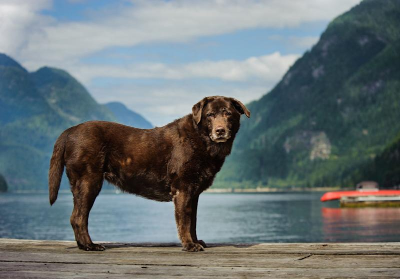 Senior Chocolate Labrador Retriever standing on dock
