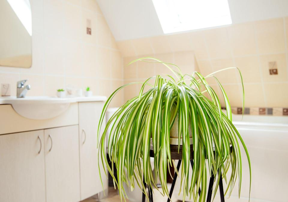 "<p>Bathroom plants are becoming increasingly popular in our homes, but not all houseplants enjoy the damp, humid atmosphere of a bathroom. So what are the best plants for a <a href=""https://www.countryliving.com/uk/homes-interiors/interiors/a35332146/bathroom-trends/"" rel=""nofollow noopener"" target=""_blank"" data-ylk=""slk:bathroom"" class=""link rapid-noclick-resp"">bathroom</a>? Here, we explore which varieties will thrive in a toilet room, en-suite or family-sized washroom. But first, let's answer some popular houseplant questions. </p><p><strong>Is it ok to put plants in the bathroom?</strong></p><p>If you choose the right variety, then yes! In fact, bathroom plants have a number of benefits. They can <a href=""https://www.countryliving.com/uk/wellbeing/a668/houseplants-to-purify-house-air/"" rel=""nofollow noopener"" target=""_blank"" data-ylk=""slk:purify the air"" class=""link rapid-noclick-resp"">purify the air</a>, bring greenery and nature into one of our more sterile rooms, eliminate bacteria and absorb extra moisture. They are also bang on trend. You must choose a plant that can cope with the high humidity of a bathroom and you also need to consider sunlight. If your bathroom is located in the middle of a property without a window or any natural light, <a href=""https://www.countryliving.com/uk/homes-interiors/interiors/a32104578/best-indoor-hanging-plants/"" rel=""nofollow noopener"" target=""_blank"" data-ylk=""slk:houseplants"" class=""link rapid-noclick-resp"">houseplants</a> may struggle.</p><p><strong>What plants can live in a bathroom without windows?</strong></p><p>Your choices are narrower here as they must be able to cope with both high humidity and <a href=""https://www.countryliving.com/uk/homes-interiors/interiors/a1818/shade-loving-houseplants/"" rel=""nofollow noopener"" target=""_blank"" data-ylk=""slk:low light levels"" class=""link rapid-noclick-resp"">low light levels</a>. Some plants that might be a good choice for a windowless bathroom are: peace lilies, Boston ferns, philodendrons, spider plants, aloe vera, English ivy, snake plants.</p><p><strong>What plants can live in the shower?</strong></p><p>It is becoming a popular trend to put plants in the shower, if you have a big enough area. The first thing to consider here is safety. Bathroom plants must not be put anywhere where they may become a trip hazard in what is already a slippery area. That being said, a popular shower plant is a eucalyptus 'bath bouquet' which is hung from the shower head. The steam and heat from the shower helps to release the aromatherapy powers of the eucalyptus.</p><p><strong>Are succulents ok in bathrooms?</strong></p><p>Succulents will rot if they're exposed to too much water so are not great for a small or windowless bathroom where moisture levels are even higher. They are better for a large bathroom or on a bathroom windowsill. </p><p>Now, without further ado, here are the best bathroom plants. Choose the right one for your style and space...</p>"