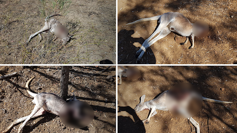 After finding three dead kangaroos on Monday (bottom left to top right), Ms Palmer's son then located another on Tuesday (top left). Source: Supplied