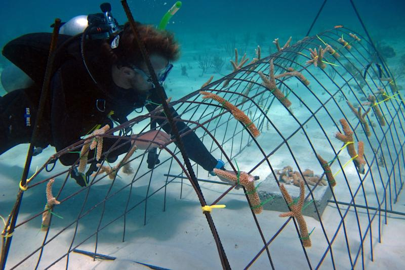 """In this May 30, 2012 photo released by the Puntacana Ecological Foundation, a diver works on a coral reef restoration program in Punta Cana, Dominican Republic. According to the International Union for Conservation of Nature, live coral coverage in the Caribbean is down to an average of just 8 percent, from 50 percent in the 1970s.  Caribbean islands ranging from Bonaire to the U.S. Virgin Islands, conservationists are rearing and planting fast-growing coral species to try and turn things around by """"seeding"""" reefs.  (AP Photo/Puntacana Ecological Foundation, Victor Manuel Galvan)"""