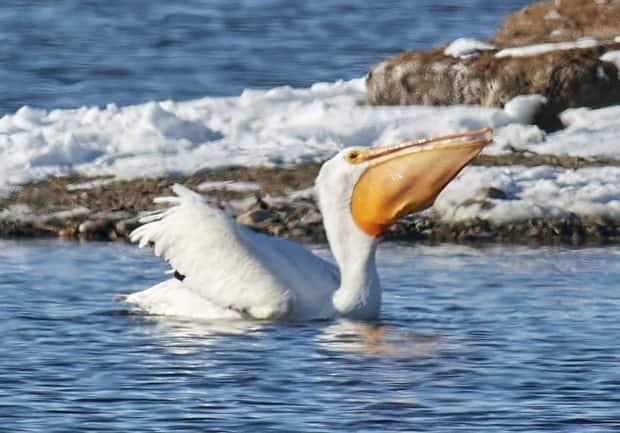 In this photo, Sturk says, the pelican caught a pouch-full of Prussian carp.