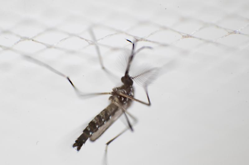 An aedes aegypti mosquito that carryies the dengue virus is photographed at a laboratory of the National Center for the Control of Tropical Diseases (CENCET) in Santo Domingo on July 9, 2019. - An outbreak of dengue infection threatens to become an epidemic in the Dominican Republic. (Photo by Erika SANTELICES / AFP) (Photo credit should read ERIKA SANTELICES/AFP/Getty Images)