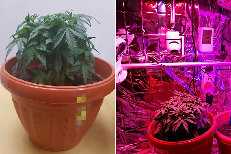 One of the cannabis plants seized (left) along with a makeshift greenhouse (right) found inside the Yishun home. (PHOTOS: CNB)