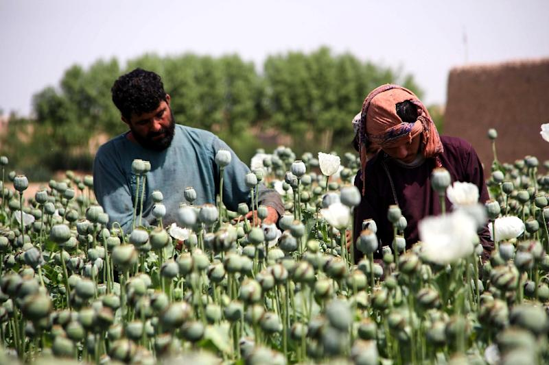 The sight of a seemingly endless expanse of opium-producing flowers is common across rural Afghanistan (AFP Photo/NOOR MOHAMMAD)