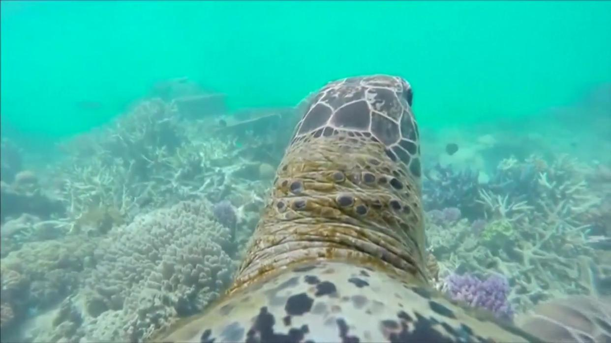 A Sea Turtle Shows His Perspective on the Great Barrier Reef