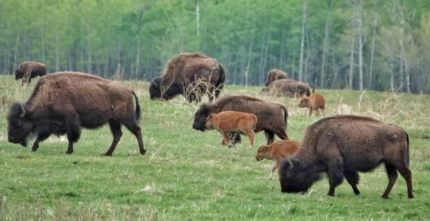 A widely known example of successful conservation efforts in Alberta is itsbison population that was reintroduced in places like Banff National Park and Elk Island National Park.
