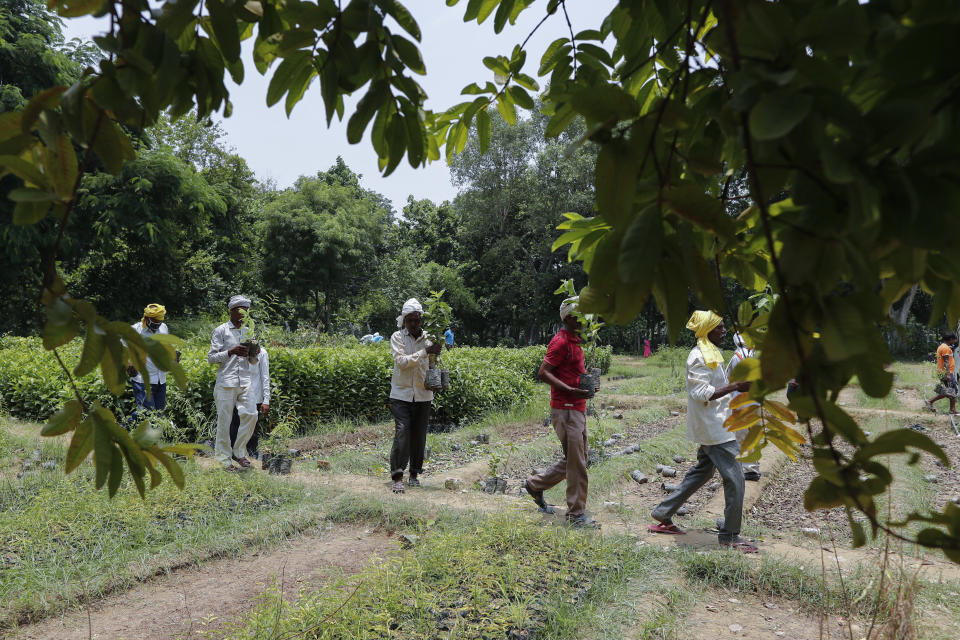 Indian laborers plant saplings as part of an annual tree plantation campaign on the outskirts of Prayagraj, in northern Uttar Pradesh state, India, Sunday, July 4, 2021. (AP Photo/Rajesh Kumar Singh)