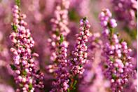 """<p>These low-maintenance evergreen bushes are happy-inducing plants that will be certain to boost your wellbeing. While they can be planted in spring, winter-flowering heathers are widely available from <a href=""""https://www.housebeautiful.com/uk/lifestyle/a23331456/autumn-season-prepare-home/"""" rel=""""nofollow noopener"""" target=""""_blank"""" data-ylk=""""slk:autumn"""" class=""""link rapid-noclick-resp"""">autumn</a> onwards. </p><p><a class=""""link rapid-noclick-resp"""" href=""""https://www.dobies.co.uk/flowers/shrubs/flowering-shrubs/summer/calluna-vulgaris-triogirls_mh7653"""" rel=""""nofollow noopener"""" target=""""_blank"""" data-ylk=""""slk:BUY NOW VIA DOBIES"""">BUY NOW VIA DOBIES</a></p>"""