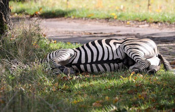PHOTO: A zebra lies dead by the roadside after it was shot near Liepen, northeastern Germany, Oct. 2, 2019. The animal had broken out of a nearby circus with a fellow zebra and had caused an accident on the A20 motorway. (Bernd Wustneck/AFP/Getty Images)