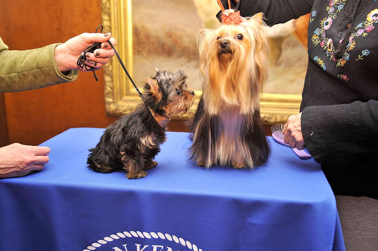 NEW YORK, NY - FEBRUARY 28:  Sierra,  a Yorkshire Terrier puppy (L) and Heidi, a Yorkshire Terrier adult attend as American Kennel Club announces Most Popular Dogs in the U.S. at American Kennel Club Offices on February 28, 2012 in New York City.  (Photo by Gary Gershoff/Getty Images for AKC)