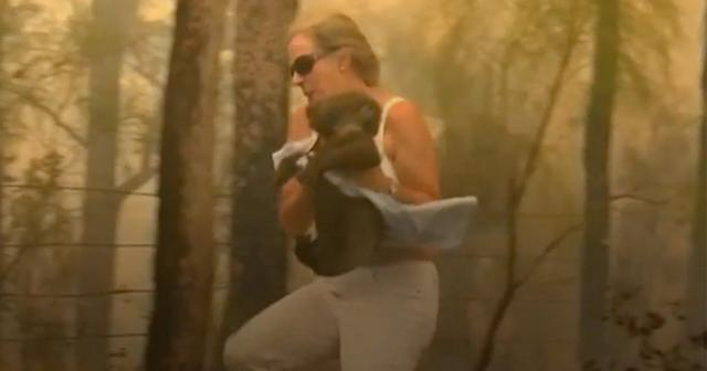 The koala bear Ellenborough Lewis was saved from the flames (Photo: Yahoo News Australia)
