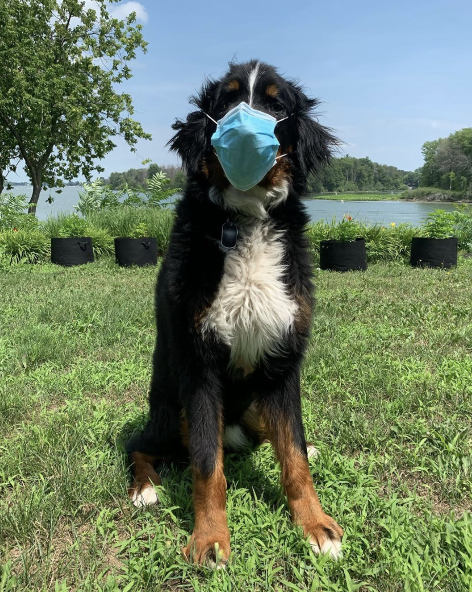 """This pooch Ozzy posed for a post from his owner asking everyone to """"please wear a mask"""". Source: Instagram/ozzylebouvier"""