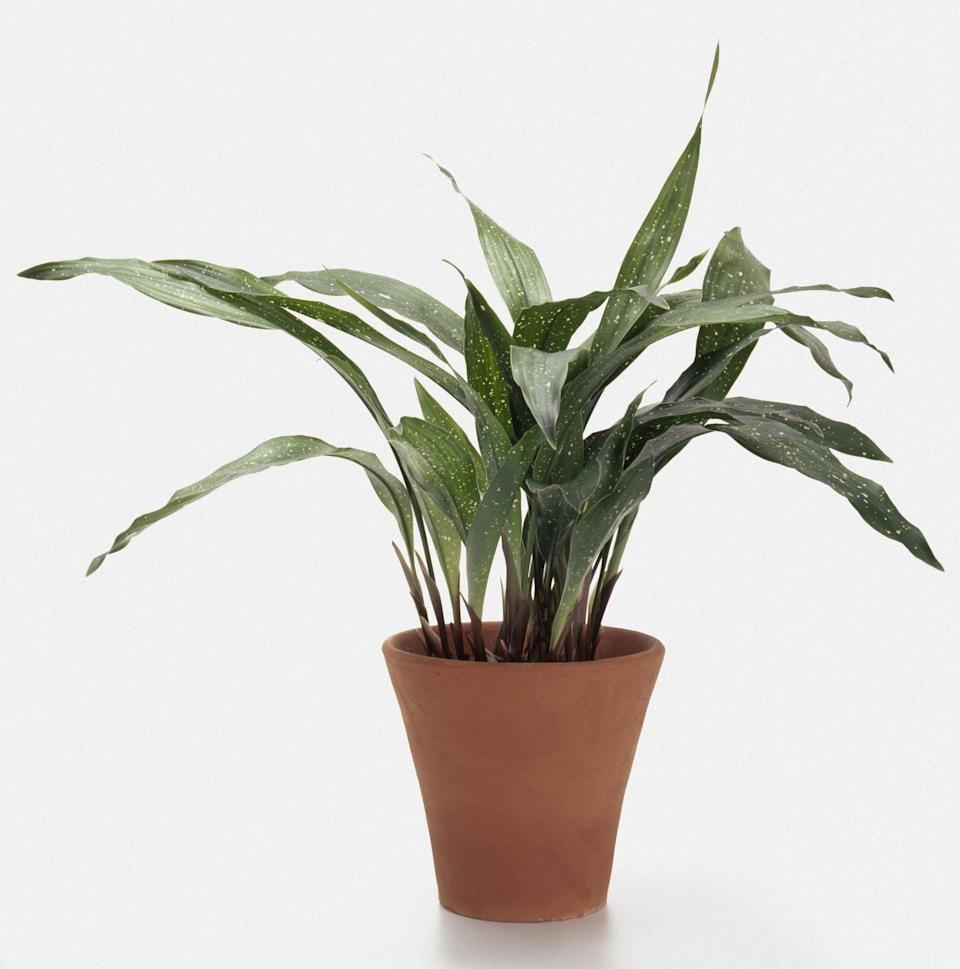 <p>The leathery leaves on this houseplant are super tolerant not only to low light but also heat, cold, you name it. However, patience is required as it grows super slowly.</p>