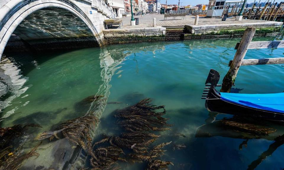 Seaweed can be seen in clear waters in Venice as a result of the stoppage of motorboat traffic.