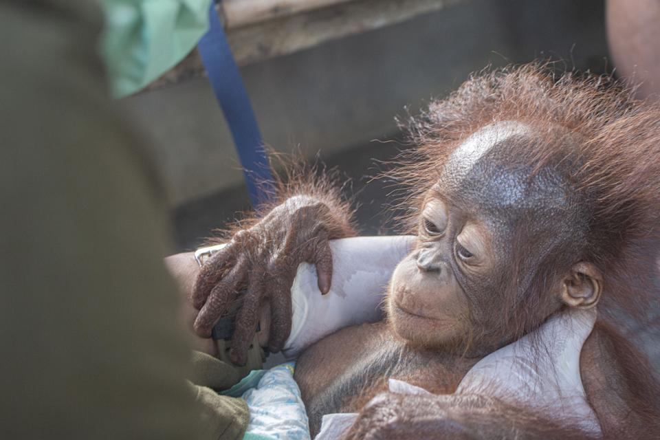 These heart melting images show the moment a baby orangutan, separated from its mother, was recovered by conservationists in Limpang, a village in Jelai Hulu District, Borneo, Indonesia. See SWNS story SWOCrescue. This is the touching moment a baby orangutan separated from its mother is rescued by villagers in one of the remotest places on earth. Video shows the frightened baby ape holding tightly onto conservationists who comfort him, after stumbling upon a tiny village in Indonesia.  Named 'Aben' by his rescuers, the orangutan - less than a year old - looks around with large beady eyes as he is kept warm and tested for contagious diseases. According to welfare group International Animal Rescue (IAR), Aben was found in Limpang, a village in Jelai Hulu District, earlier this month.