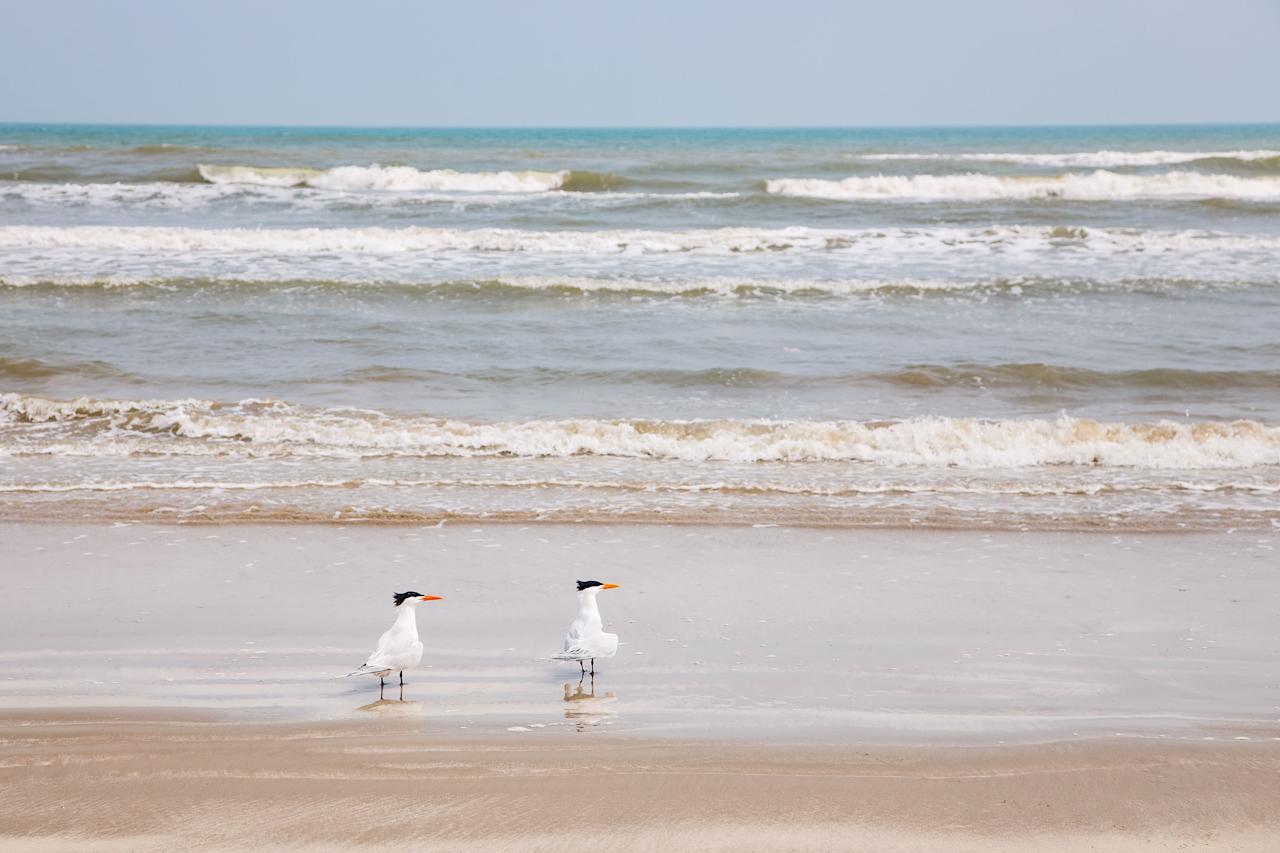 """<p>On the southern Texas barrier island of the same name that separates the Gulf of Mexico and Laguna Madre Bay, the <a href=""""https://www.nps.gov/pais/index.htm"""" target=""""_blank"""">Padre Island National Seashore</a> is the longest stretch of undeveloped barrier island in the world. What this means is 70 miles of pristine coastline and glorious beaches that shelter the rare Kemp's ridley sea turtle and more than 380 bird species, plus offer walking, swimming, birdwatching, and enjoying the wild beauty of the Texas coast. Among the beaches here, Malaquite Swimming Beach has a <a href=""""https://www.nps.gov/pais/planyourvisit/visitorcenter.htm"""" target=""""_blank"""">Visitor Center and Pavilion,</a> beach wheelchair access, is closed to driving, and conducts a sea turtle hatchling release during the summer season (<a href=""""https://www.nps.gov/pais/learn/seaturtles.htm"""" target=""""_blank"""">go here for more information</a>). For beachcombers, Little Shell and Big Shell beaches are aptly named for their bounty. Entrance fees include $10 per vehicle for a one-day pass, $10 per person for pedestrians and bicyclists (<a href=""""https://www.nps.gov/pais/planyourvisit/fees.htm"""" target=""""_blank"""">go here for all fees</a>).</p>"""