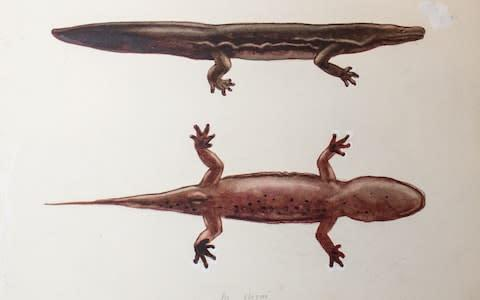 A new species of giant salamander - possibly the largest amphibian in the world - has been identified from a dead specimen that has been on display at the Natural History Museum for 74 years. - Credit: SWNS/ZSL