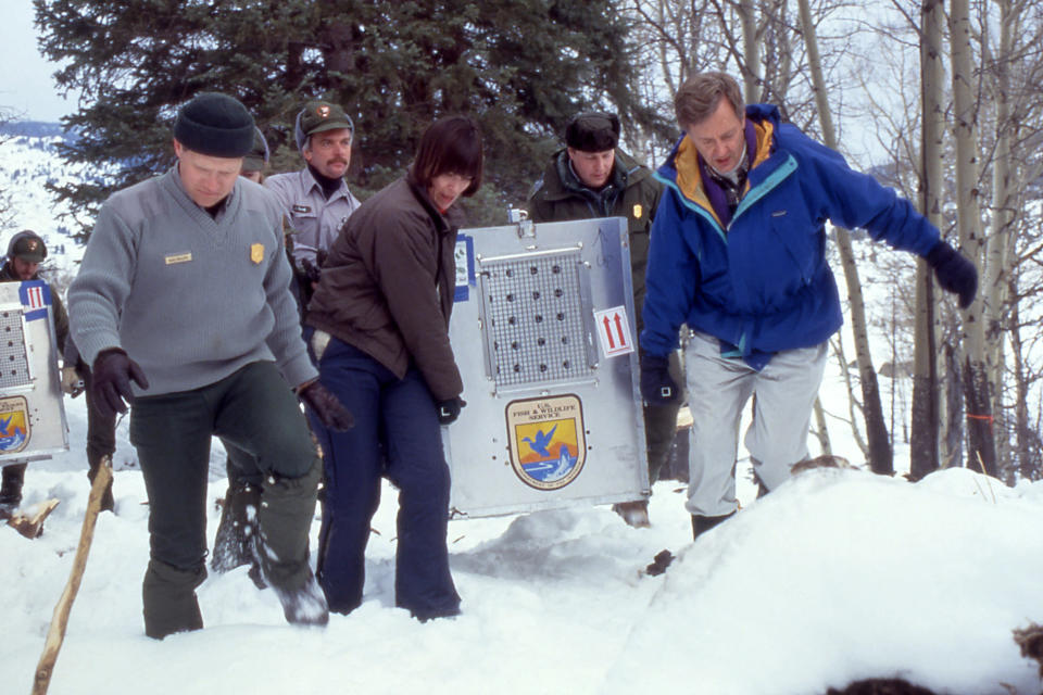 In this Jan. 12, 1995, photo provided by the National Park Service, from left, Mike Phillips, Yellowstone National Park Wolf project leader, Jim Evanoff of Yellowstone National Park, Molly Beattie, U.S. Fish and Wildlife Service director, Mike Finley, Yellowstone National Park Superintendent, and Bruce Babbitt, Secretary of Interior, carrying the first wolf to arrive in Yellowstone at the Crystal Bench Pen in Yellowstone National Park, Wyo. Wolves have repopulated the mountains and forests of the American West with remarkable speed since their reintroduction 25 years ago, expanding to more than 300 packs in six states. (National Park Service via AP)