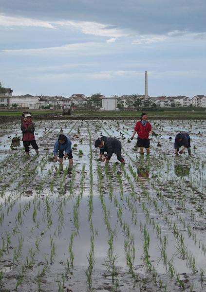 In this Wednesday May 29, 2013 photo, North Korean farm workers transplant rice seedlings at Tongbong Cooperative Farm, near Hamhung, North Korea. Farmers in North Korea have confirmed that they have begun carrying out new economic policies designed to boost productivity by giving managers and workers financial incentives. Some foreign analysts say the moves are reminiscent of early reform in China in the late 1970s. (AP Photo)