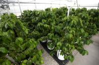 Coffee trees are seen in a greenhouse at the UF/IFAS Plant Science Research and Education Unit in Citra