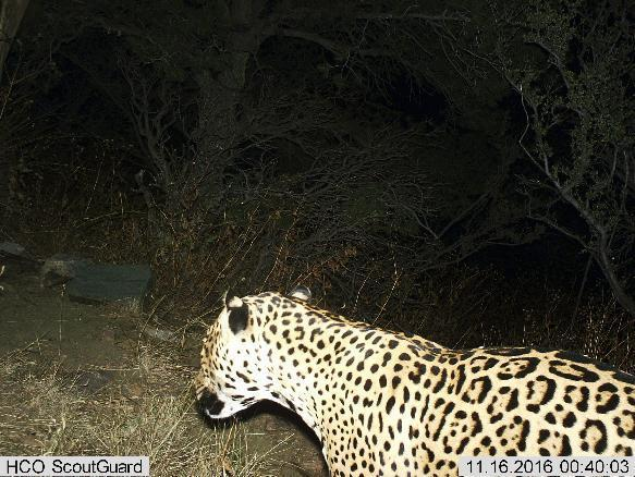 Third Jaguar Spotted In Arizona Since 2011