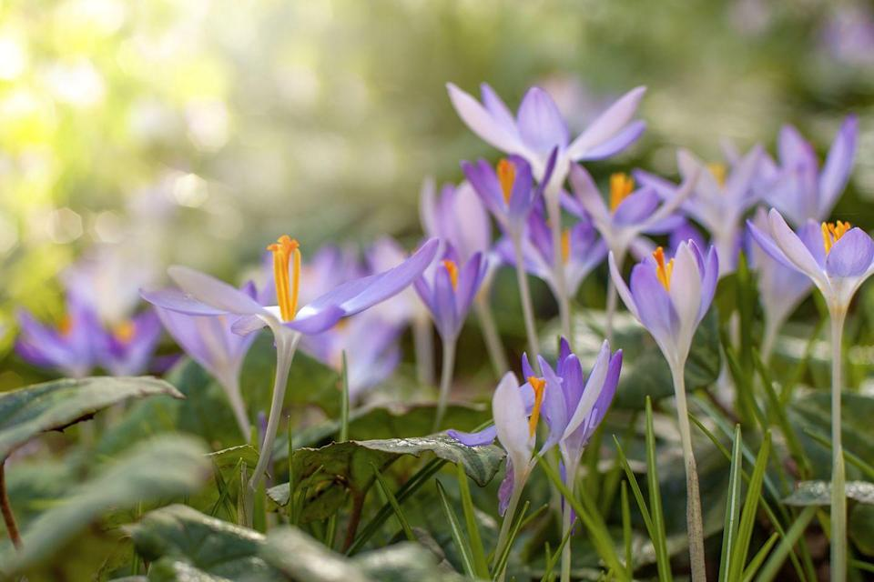 """<p>While many crocus bloom in spring, this particular variety is perfect for fall. Also known as """"meadow saffron"""" or """"naked ladies,"""" these low growing blooms look just as gorgeous lining a garden as they do sprinkled throughout a meadow.</p><p><strong>When it blooms: </strong>September to November</p><p><strong>Where to plant:</strong> Partial shade to full sun</p><p><strong>When to plant: </strong>Mid to late summer</p><p><strong>USDA Hardiness Zones: </strong>5 to 9</p>"""