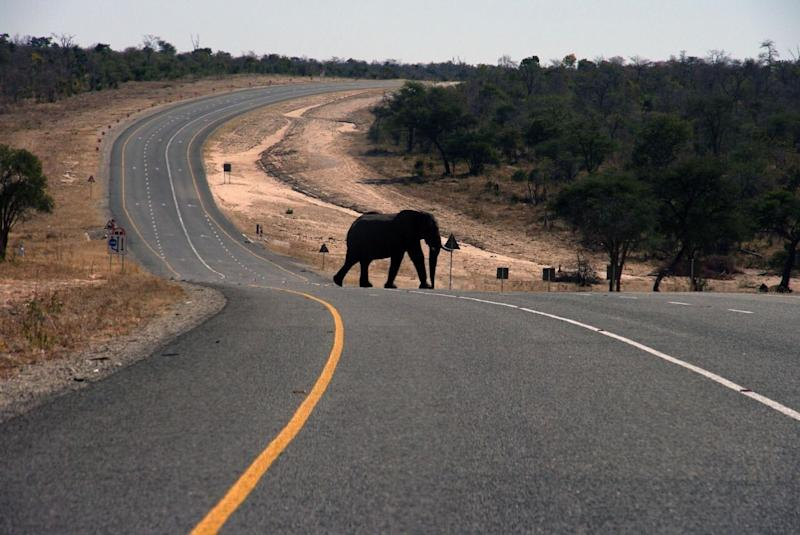 Elephant pictured crossing a bitumen road.
