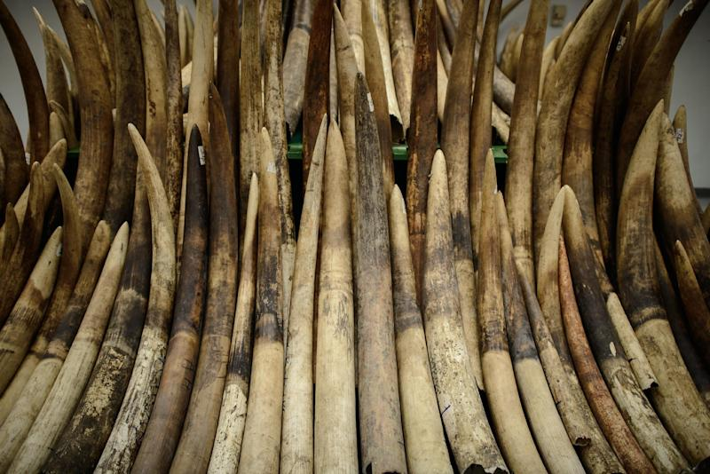 Seized ivory tusks are displayed prior to their destruction by incineration in Hong Kong on May 15, 2014