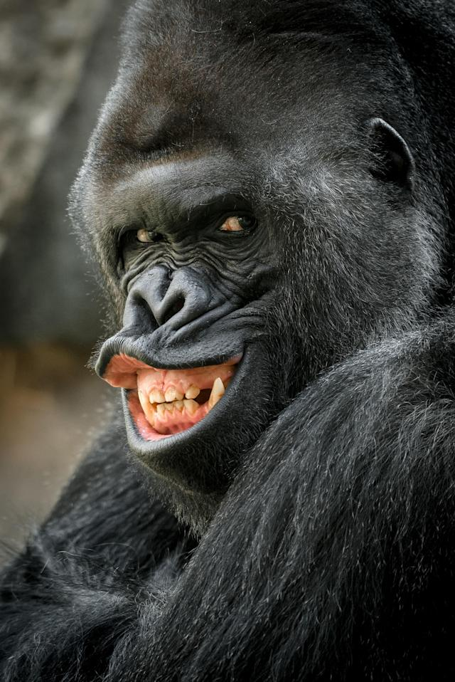 <p>Richard, the unusually photogenic gorilla from Prague Zoo. (Photo: Prauge Zoo/Caters News) </p>