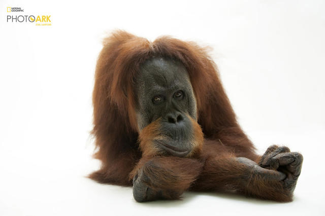 <p><strong>Critically endangered, fewer than 15,000 left in the wild.</strong> <br> Photographed at the Gladys Porter Zoo in Brownsville, Texas. (© Photo by Joel Sartore/National Geographic Photo Ark)<br><br><em> Support the Photo Ark and projects working to help save species</em><br><em> at PhotoArk.org and join the conversation on social media with</em><br><em> #SaveTogether.</em> </p>