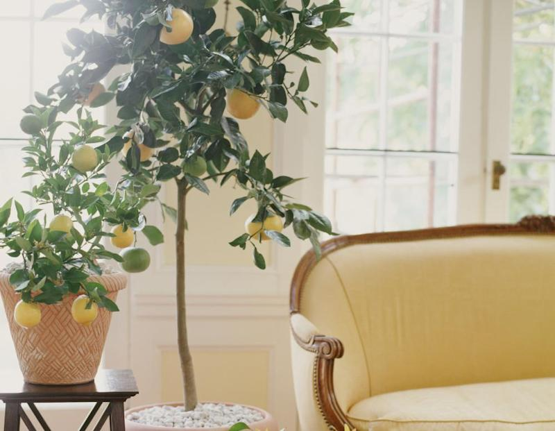 Growing citrus: 'It's hard not to agonise over an infant sapling'