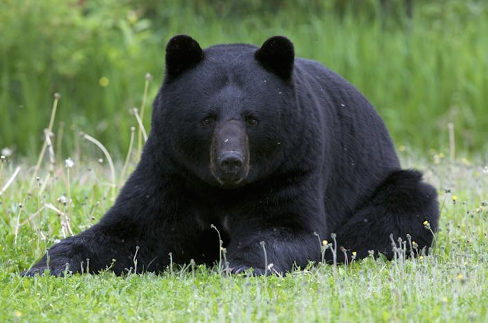 Wild, male American black bear (Ursus americanus) laying down or resting in summer grasses. Near Lake Superior, Ontario, Canada