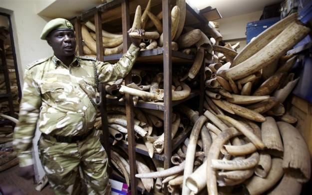 A Kenya Wildlife Services ranger shows elephant tusks intercepted from poachers during a commemoration of the 1989 ivory burning at the Nairobi National Park July 18, 2009.