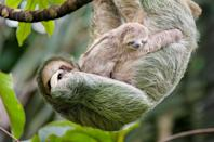"""<p>If you thought moms were tough, just wait until you hear about sloth moms! These caregivers actually give birth in the trees. Post birth, the sloth mom will scoop her baby up and put it on her belly (you can watch a <a href=""""https://www.nationalgeographic.com/animals/2020/03/sloth-birth-costa-rica-baby/"""" rel=""""nofollow noopener"""" target=""""_blank"""" data-ylk=""""slk:rare wild birth video"""" class=""""link rapid-noclick-resp"""">rare wild birth video</a> on National Geographic). This snuggly position keeps the baby protected.<br></p>"""