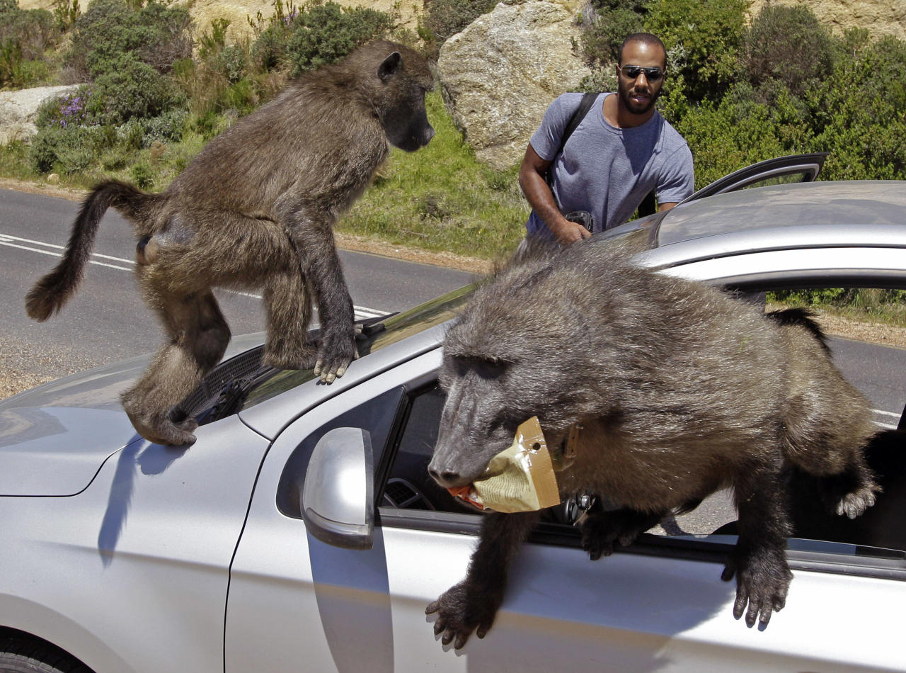 Tourists Alexandre Casias, center back, and Emilie Vachon, not in photo, from Montreal in Canada, have their car raided by Baboons, at Millers Point on the outskirts of Cape Town, South Africa, Wednesday, Oct 24, 2012.   (AP Photo/Schalk van Zuydam)