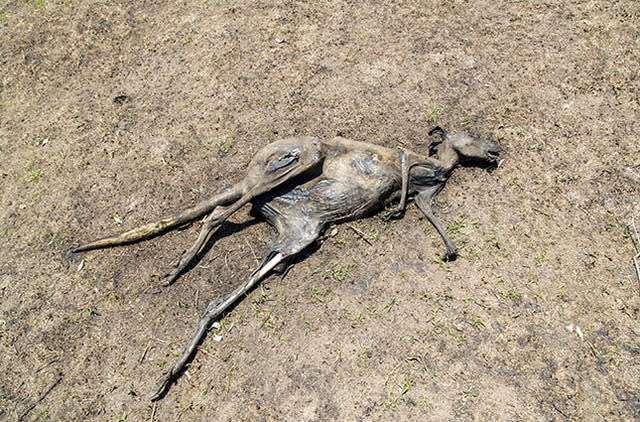 An incinerated kangaroo shot from above.