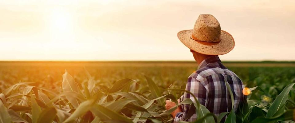 Rear view of senior farmer standing in corn field examining crop at sunset.