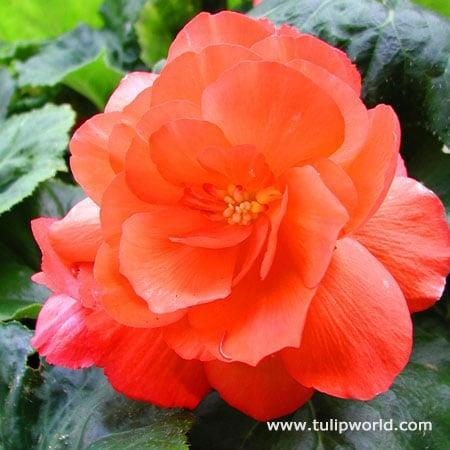 <p>With big, bright blooms, this <span>Begonia</span> ($4, originally $13) will be hard to miss.</p>