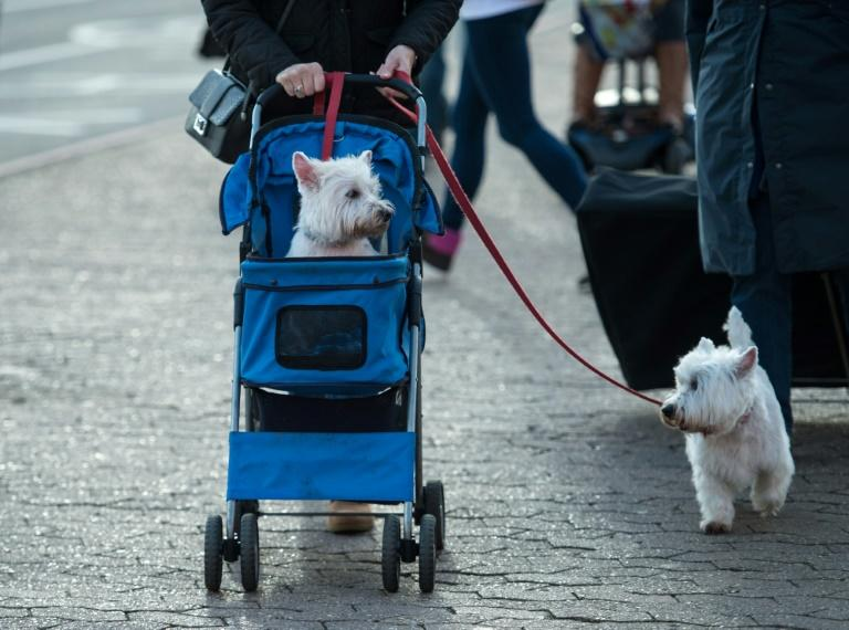Larger dogs, some of them globally-famous native breeds, are being squeezed out by handbag-sized pooches better suited to modern busy lifestyles and smaller homes